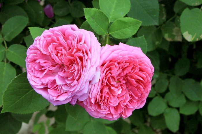 Damask rose floral water benefits new zealand nz