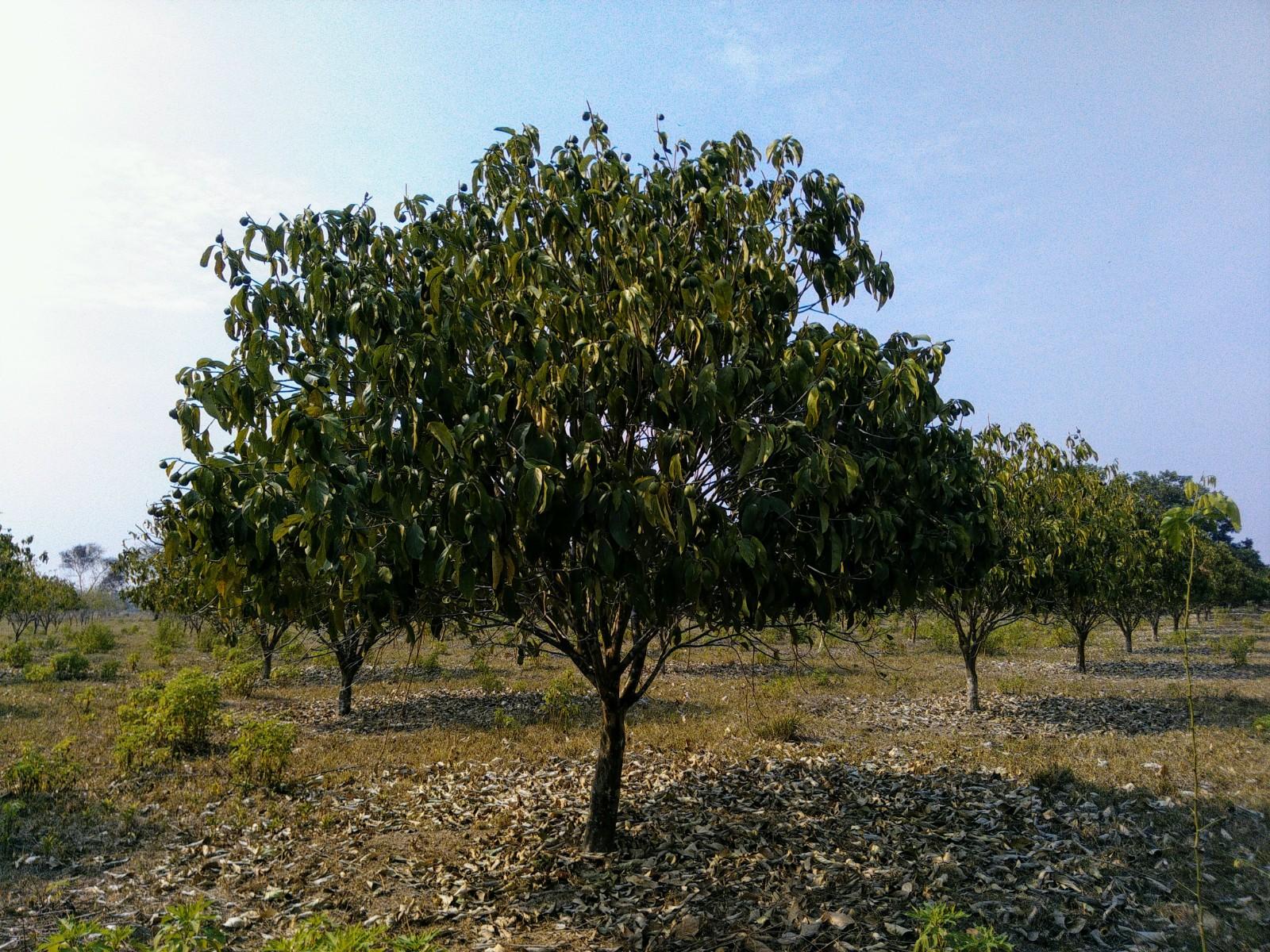 cacay tree brazil amazonia pure oil