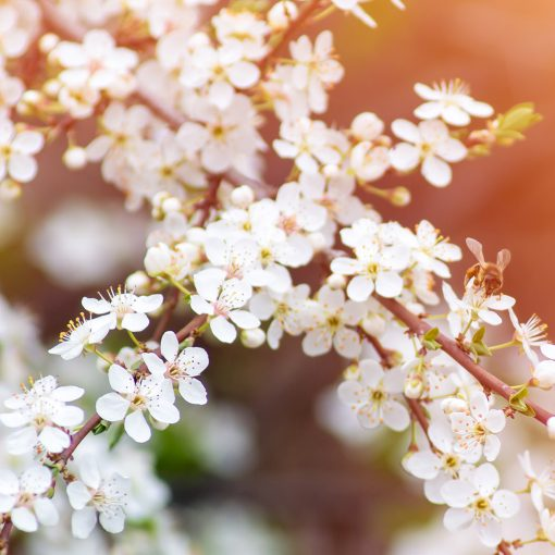 manuka hydrosol floral water natural skin care toner flowers nz